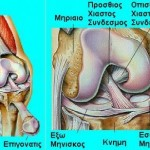 normal_knee joint
